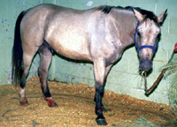 Liver disease in the horse: clinical signs and diagnostic aids