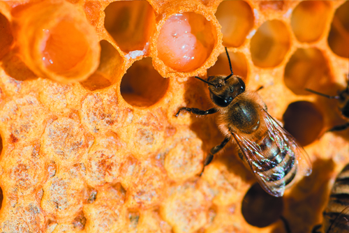 Investigating the Bioactive Molecules of Royal Jelly | LCGC